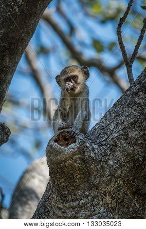 Baby vervet monkey scratching nose facing camera