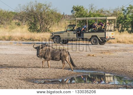 Blue wildebeest by puddle with jeep behind