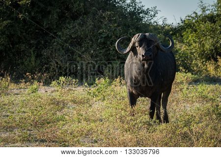 Cape buffalo standing in clearning facing camera