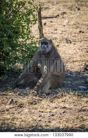 Chacma baboon sitting on ground by bush