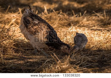 Chicken and chick pecking in dry grass