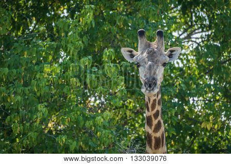 Close-up of South African giraffe in trees