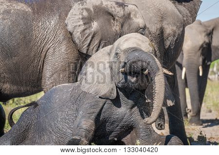 Close-up of elephant trying to get up