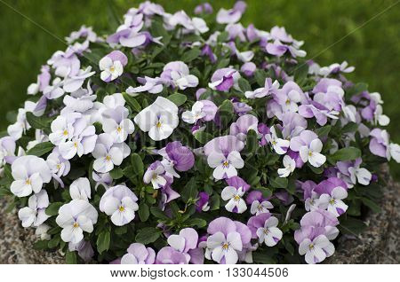 White and pink pansy flowers in a domestic garden shot during summer time.