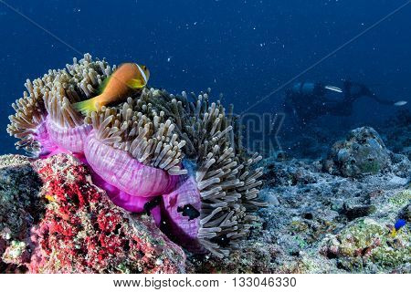 Clown Fish Inside Pink Purple Anemone With Scuba Diver