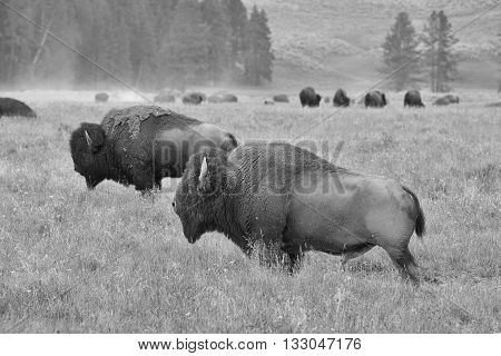 The herd of typical American Bison on the pasture in Grand Teton National Park - Black and White Photo