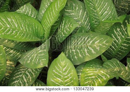 The green leaves background in a garden