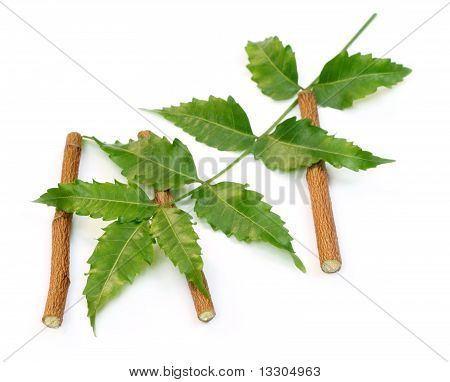 Medicinal neem leaves with twigs