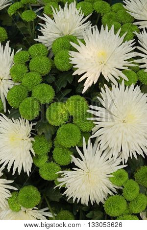 The beautiful white a color daisy flower