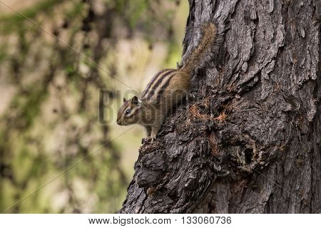 chipmunk closeup head down on a tree trunk