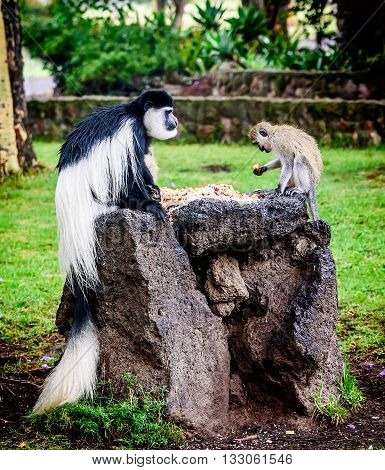 Black and white Colobus sharing food with another monkey Kenya
