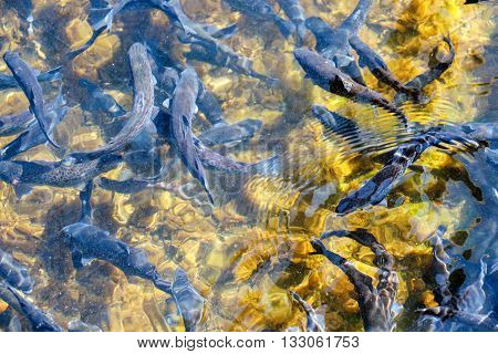 picture of a trout fish in a clean river water