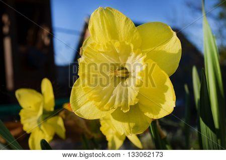 красивый, нежный желтый цветок под лучами солнца