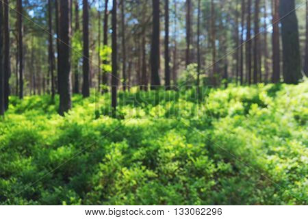 Green bushes of blueberries in a pine forest on a clear sunny day with blue sky. Blurry
