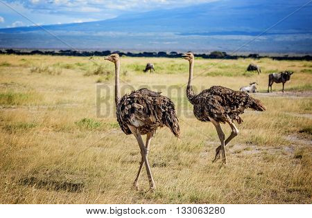Two African Ostrich birds in Masai Mara resort in Kenya