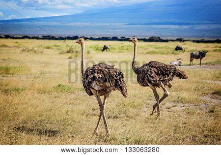Two African Ostrich birds in Masai Mara resort in Kenya