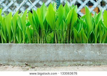 lily of the valley growing in the country, excellent green background
