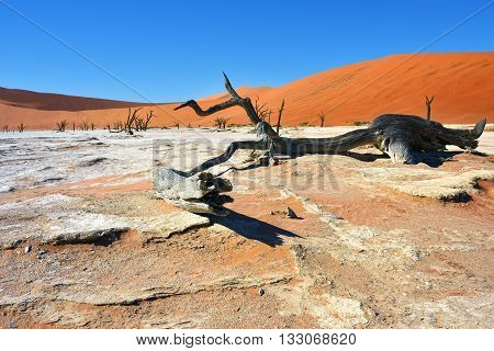 Dead Camelthorn Trees against blue sky in Deadvlei Sossusvlei. Namib-Naukluft National Park Namibia Africa.