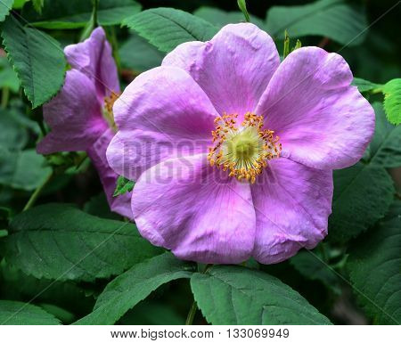 Pink flower of dogrose close up. Pollen on leaves and petals.