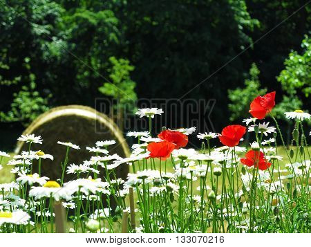 blooming marguerite red poppy and hay role in the background