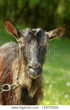Dark long-haired goat looks at camera close-up