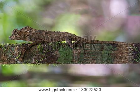 Outdoor nature scene: close up of lizard in the jungle wild reptile animal on a sunny day