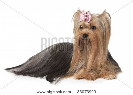 Purebred Yorkshire terrier dog (two years old) isolated on white background