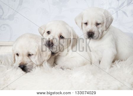 Three purebred Labrador puppies (six weeks old) lying on a fur rug indoors