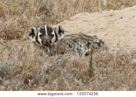 An American Badger (Taxidea taxus) outside of its burrow