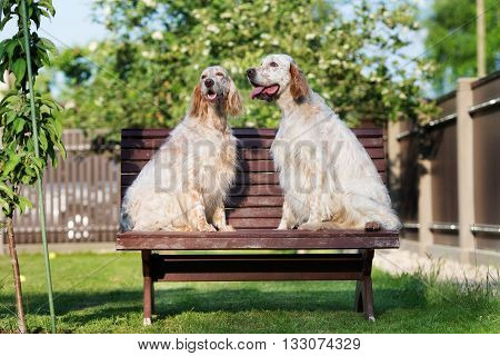 two english setter dogs posing outdoors together