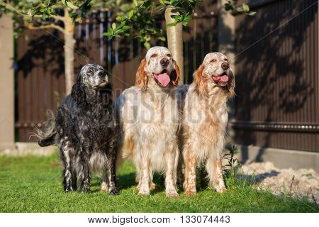 three english setter dogs standing outdoors in summer