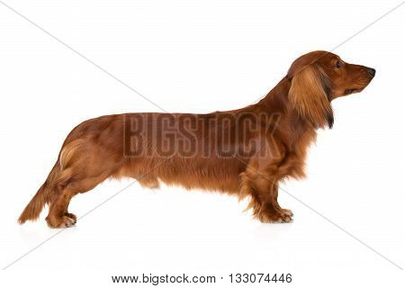 red dachshund dog standing on white background
