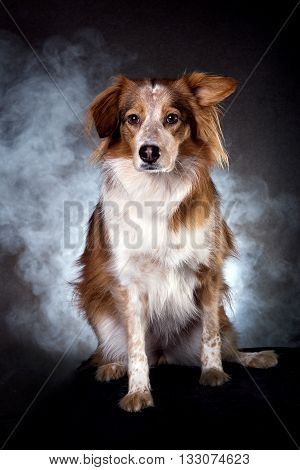 australian shepard dog in studio sitting withe smoke and black background