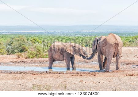 Interaction between two young male African Elephants Loxodonta africana