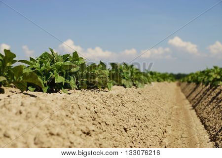 Potato plants in a field in summer
