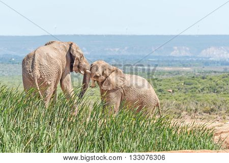 Two young mud covered african elephants Loxodonta africana wrestling