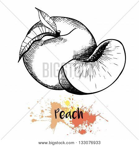 Vector hand drawn illustration of peach or apricot or nectarine fruit. Engraving summer fresh fruit isolated on white background. For cocktail smoothie desserts and salsds.