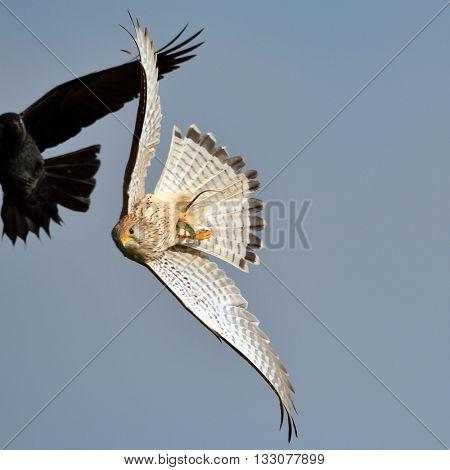 falcon flying in natural habitat (falco tinunculus)