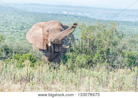 An African Elephant Loxodonta africana looking towards the camera