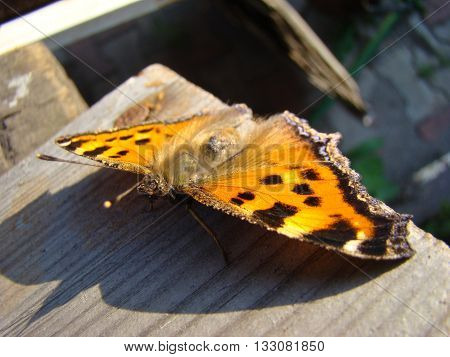 butterfly urticaria sits on a wooden Board