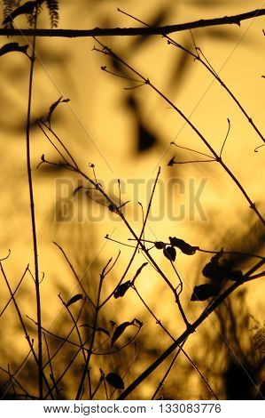 Silhouette of dry plants and trees on a golden evening light in a dought hit area.
