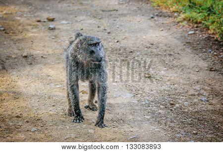 Olive Baboon monkey walking in Kenya Africa