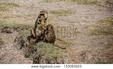 Olive Baboon monkey family  in Kenya Africa