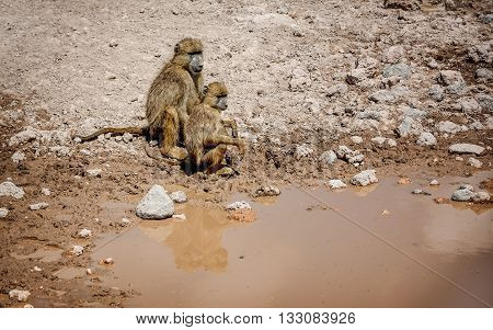 Olive Baboon monkey by the water in Kenya Africa