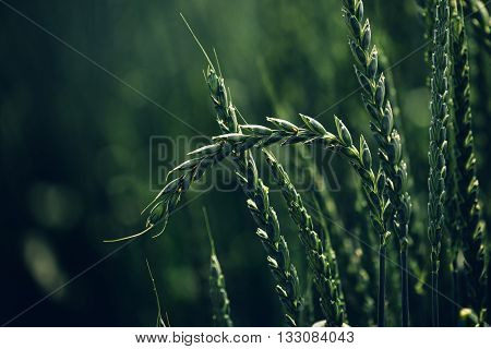 Green spelt wheat crops growing in cultivated field hulled wheat is a species of wheat cultivated since 5000 BC.