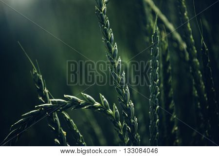 Spelt wheat crops growing in cultivated field