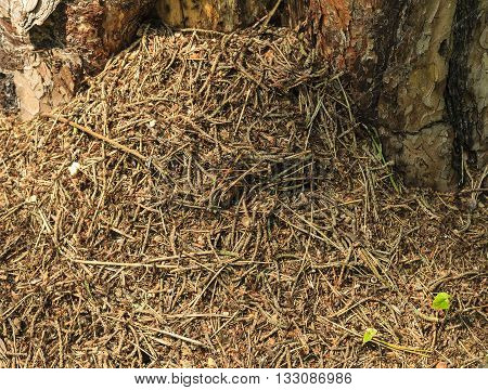 Anthill In The Pine Forest