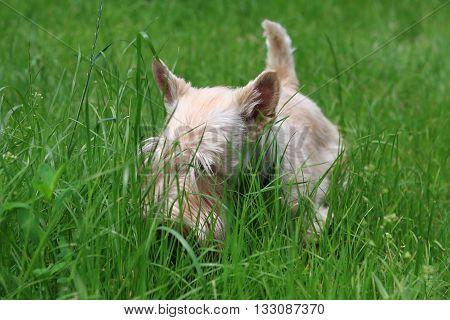 Wheaten Scottish Terrier walks in the garden