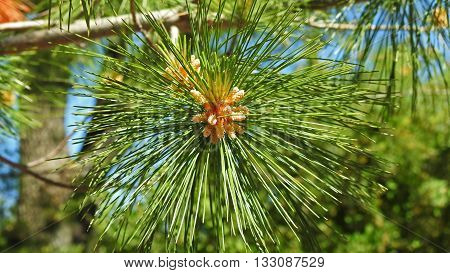 Pine trees. Pine trees elements on blue sky background.