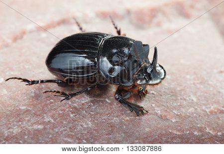 Black Rhinoceros Beetle